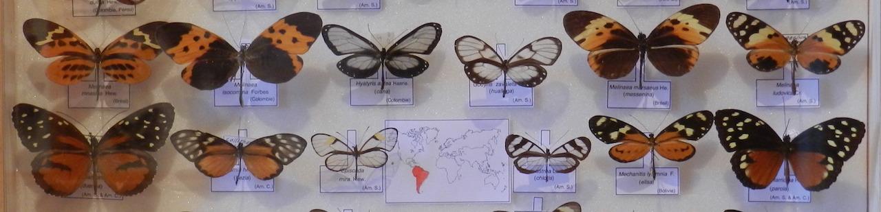 Ithomiidae